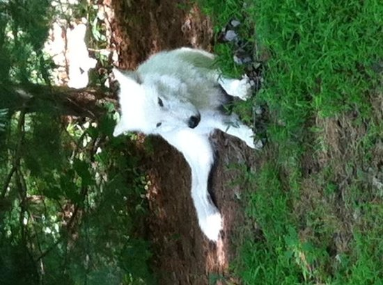 Wolf Conservation Center: Almost domesticated