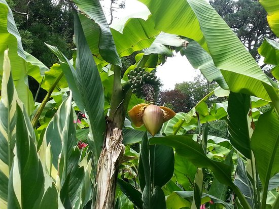 The Lost Gardens of Heligan : banana plant