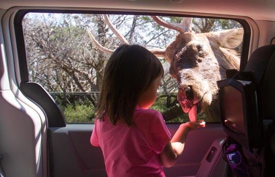 Fossil Rim Wildlife Center: Olivia (3) hand feeds a gentle Red Deer who let us pet him.