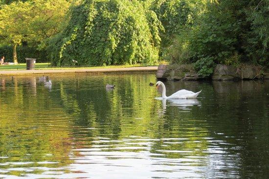 St. Stephen's Green: Swans in St Stephens Green