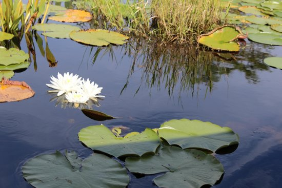 Okefenokee Adventures: One of many water lilies