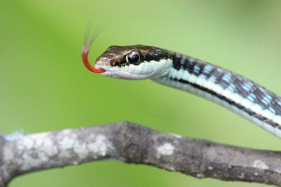 Abai Jungle Lodge : Snake