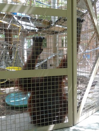 Jungle Island: another orangutan at the bottom of cage