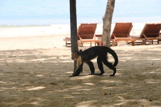Four Seasons Resort Costa Rica at Peninsula Papagayo: Monkeys on beach