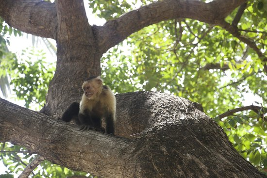 Four Seasons Resort Costa Rica at Peninsula Papagayo: Monkeys by the beach