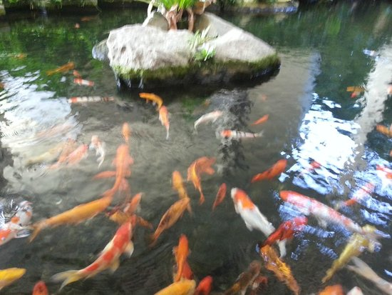 Koi fish pond at basement near swimming pool offer a for Koi fish near me