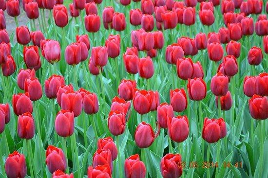 Amsterdam Tulip Museum: Tulip bulb
