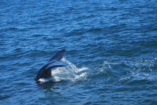 Whale Watchers Hermanus: Tail Flapping!