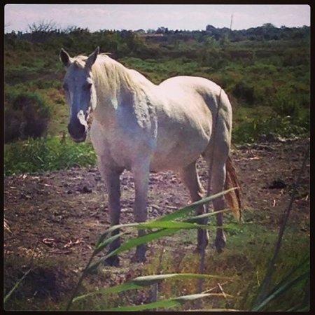 Camargue Nature Park: Camrgue horse