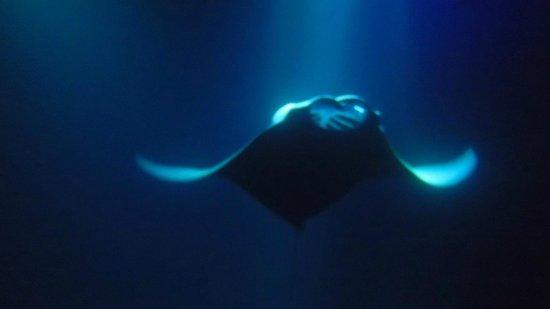 Manta Ray Dives of Hawaii : Manta ray night swim