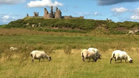 Dunstanburgh Castle: Sheep grazing near the castle.