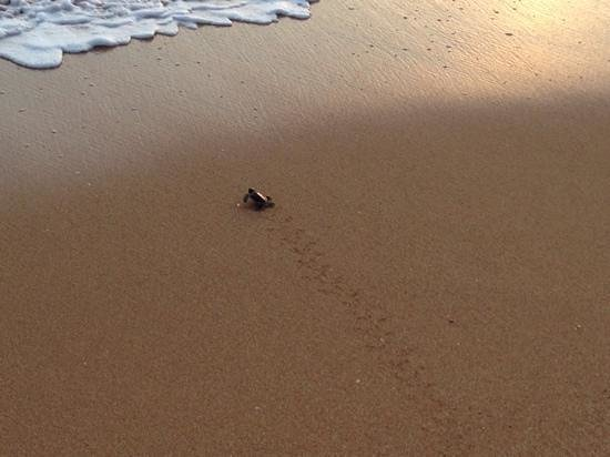 Kosgoda Sea Turtle Conservation Project: Nearly there!