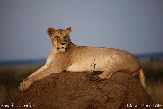 Mara Explorer Camp: Lion