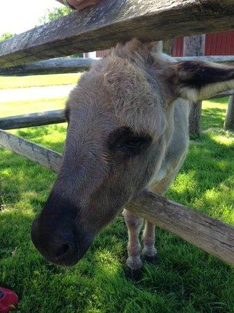 Swedish Hill Winery: Doobie, the resident donkey