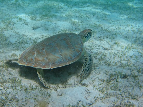 Caneel Bay Kayak, Hike & Snorkel Adventure - Virgin Islands Ecotours : Turtle seen on the tour
