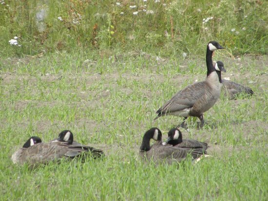 Creamer's Field Migratory Waterfowl Refuge : oche canadesi