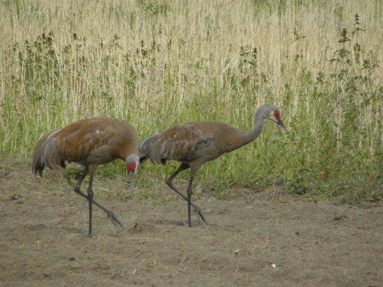 Creamer's Field Migratory Waterfowl Refuge : gru testa rossa