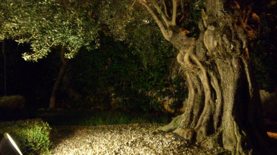 Daniya Denia: olivo de la entrada