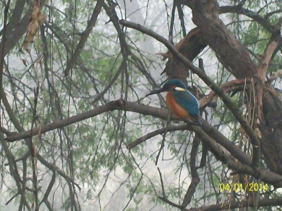 Keoladeo National Park : Indian Roller or blue neck
