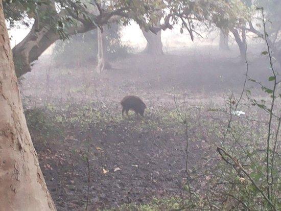 Keoladeo National Park: Wild Boar