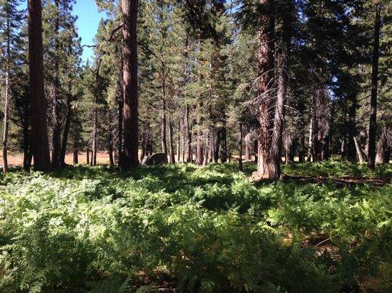 Champion Lodgepole Pine: meadow