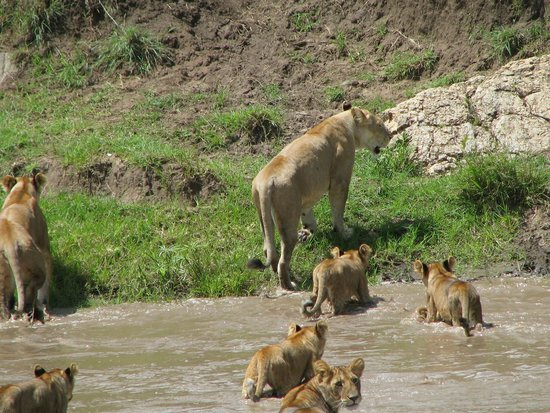 Maasai Simba Camp : Lions in the camp vicinity