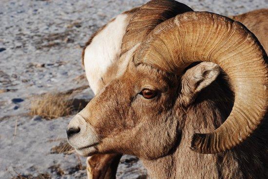 National Elk Refuge : Ram