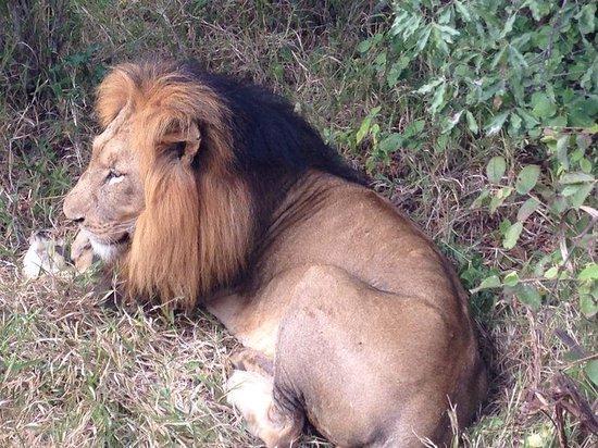 Kapama River Lodge: Leão