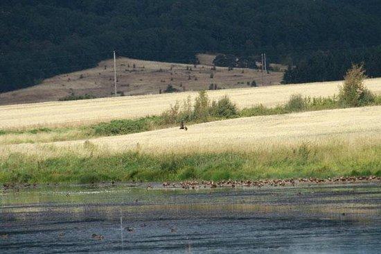 Dallas, Oregon: Northern harrier over marsh/grassland (Basket Slough National Wildlife Refuge)