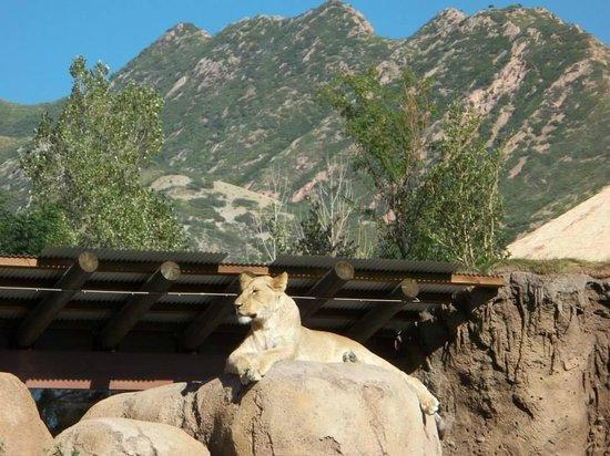 Utah's Hogle Zoo: One of two female lions.