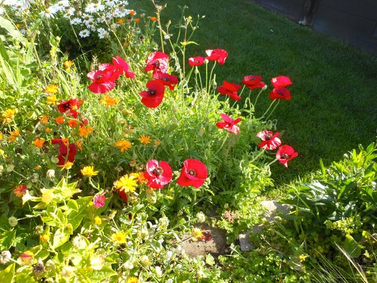 Back Bay Inn: Poppies amid gorgeous landscaping