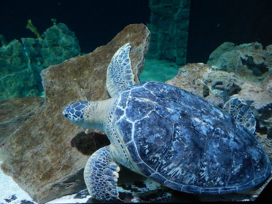 Tartaruga marina gigante foto di acquario di livorno for Tartaruga da acquario