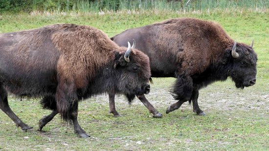 Rocky Mountain Buffalo Ranch & Guest Cottage Buffalo Tours: Rocky Mountain Buffalo Ranch Buffalo Tours