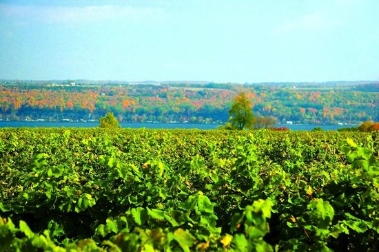 Sheldrake Point Winery: Vineyard Overlook