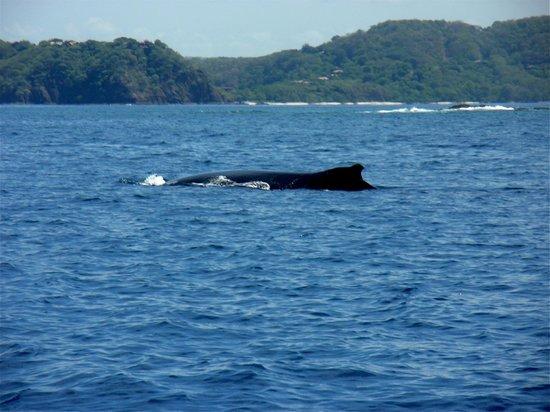Hotel Riu Guanacaste: Whales on our Snorkel trip