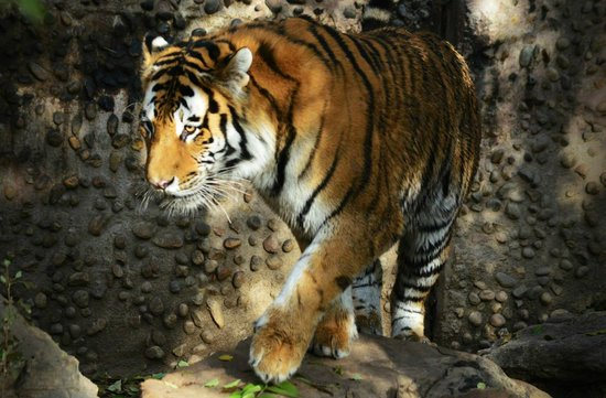 Denver Zoo: beautiful tigers.. not behind cages...