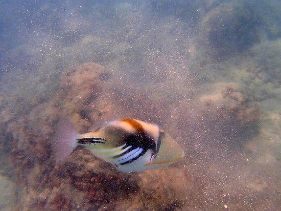 "Природный заповедник ""Ганаума Бей"": Humahumanukanukaapuaa Hawaiian trigger fish"