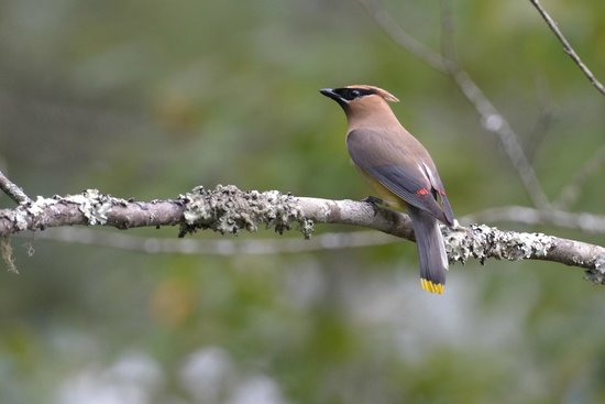 Alamo Motel & Cottages: Cedar Waxwing in Smoky Mtn NP