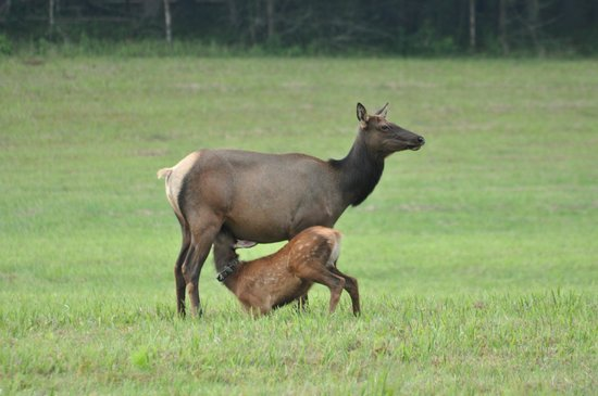 Alamo Motel & Cottages: Elk in Smoky Mtn NP