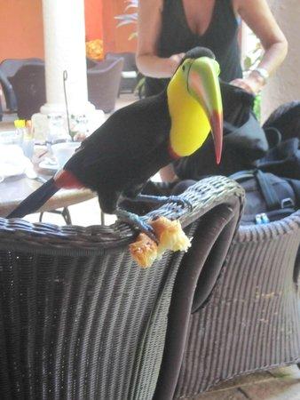 Sofitel Legend Santa Clara: Mateo, el tucán ladronzuelo del hotel, robando comida en el desayuno.