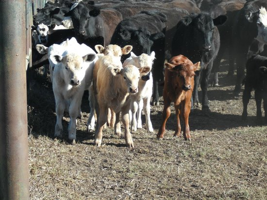 Parker Ranch: Spring Calves
