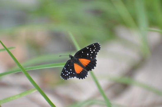 Cabinas Manzanillo: One of many beautiful butterflies