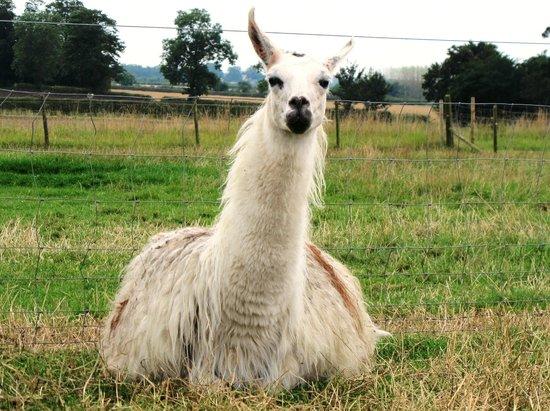 Hall Farm Park: Llama