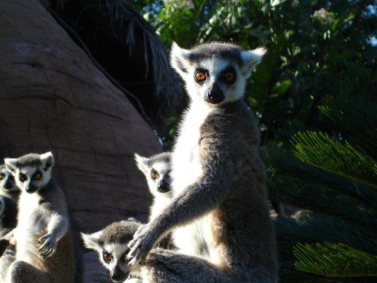 Lemur de cola anillada Bioparc Fuengirola