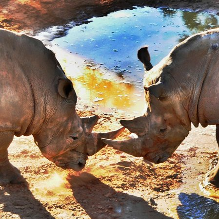 Brevard Zoo : Rhino Face Off
