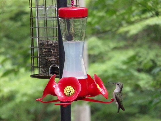 Inn the Woods Bed and Breakfast: Hummingbird at the feeder