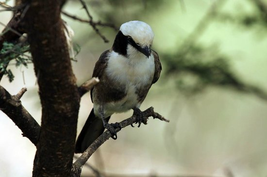 Maweninga Camp: Northern White Crowned Shrike