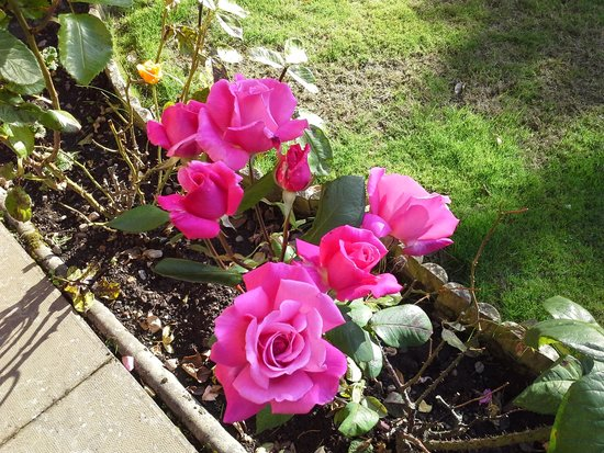 Dionard Guest House: One of the many rose bushes in the garden