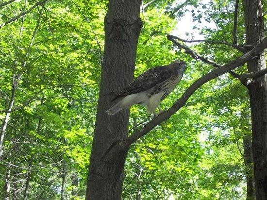 Scranton Lake Walking Path: Red-tailed Hawk