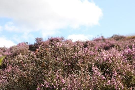 Sevenford House: august heather